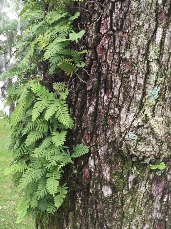 Fern growing from a tree in Savannah, GA