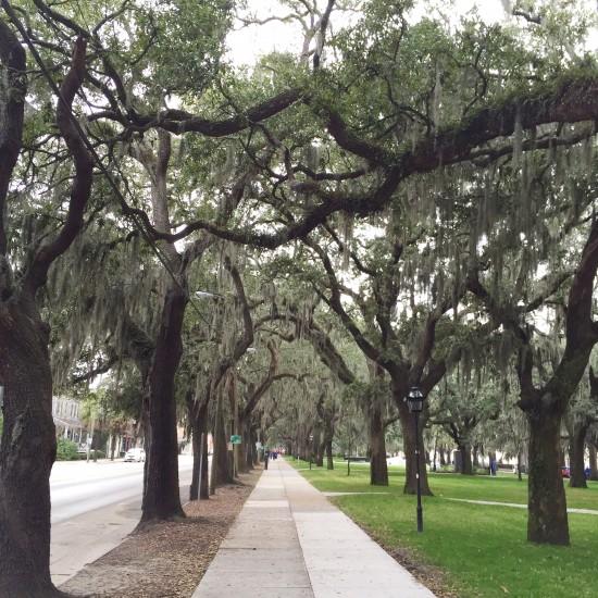 Spanish Moss in the trees in Savannah, GA